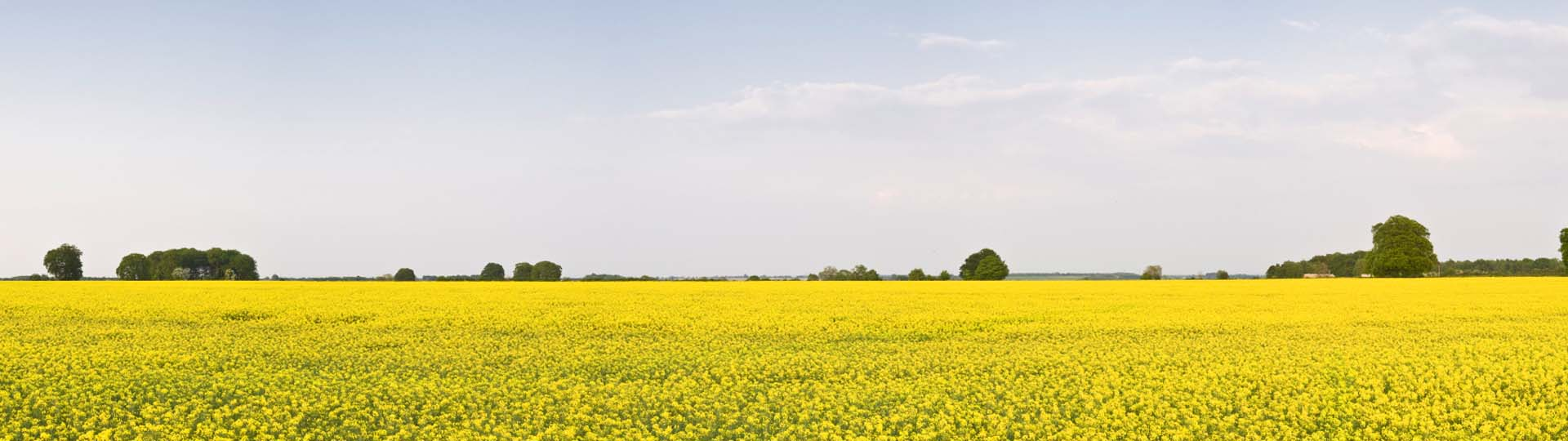 a field of entirely yellow flowers with some trees in the distance all under a blue sky